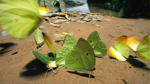 Bướm Pierid xanh lá đậu trên bờ cát biển Tuichi River trong công viên quốc gia của Bolivia. Nơi hoang vu rộng lớn bao gồm cả nhiều loại hình sinh thái, từ đỉnh cao tuyết phủ đến vùng đất trũng Amazon nhiệt đới