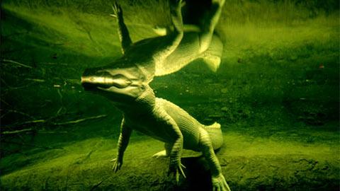 Cá sấu trắng quý hiếm bơi trong sở thú Audubon ở New Orleans. Những con cá sấu bị bệnh bạch tạng không hợp với đời sống hoang dã vì làn da nhợt nhạt của chúng
