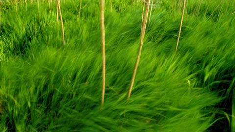 Tươi tốt, những đám cỏ xanh này như những con sóng lượn lờ trong gió. Nhiều đồng cỏ bao phủ khoảng một nửa của Hoa Kỳ, nhưng ngày nay chúng chỉ còn một phần rất nhỏ ở đó.