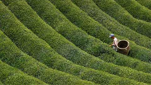 Một người dân Nhật Bản đang chọn lọc lá chè (trà) trên một cánh đồng trà xanh tươi ở núi trung tâm Nhật Bản Nara Prefecture. Trà có một lịch sử lâu đời tại Nhật nhưng nó được mang tới đầu tiên từ một hòn đảo của Trung Quốc