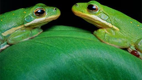 Hai chú ếch xanh hẹn hò nhau trên đỉnh chiếc lá màu xanh ở Atchafalaya River Delta của Louisiana. Xanh có thể coi là màu sắc phổ biến nhất trong tự nhiên, nó có khắp nơi từ lá, cỏ, rêu, rắn, bướm và thậm chí là ở cả bán cầu Bắc. Màu xanh đại diện cho cuộc sống, sức sống, thiên nhiên, và dĩ nhiên, cả môi trường.