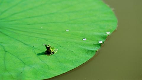 Một chú ếch xanh ngồi trên chiếc lá Lily (hoa huệ tây) lớn ở Atchafalaya Delta, bắc Canada