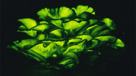 Nấm ma trơi thắp sáng đêm Vermont gần Norwich. Nấm rực sáng xanh bằng cách tạo ra ánh sáng qua phản ứng hóa học gọi là sự phát quang sinh học. Vào ban ngày, những nấm có chứa độc có màu vàng cam