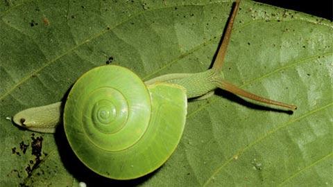Một con ốc sên xanh rực rỡ được ngụy trang hoàn hảo trên lớp lá lớn ở rừng nhiệt đới Berneo. Đây là khu vực sinh thái khổng lồ nhưng hiện đang đối mặt với nạn phá rừng lan rộng.